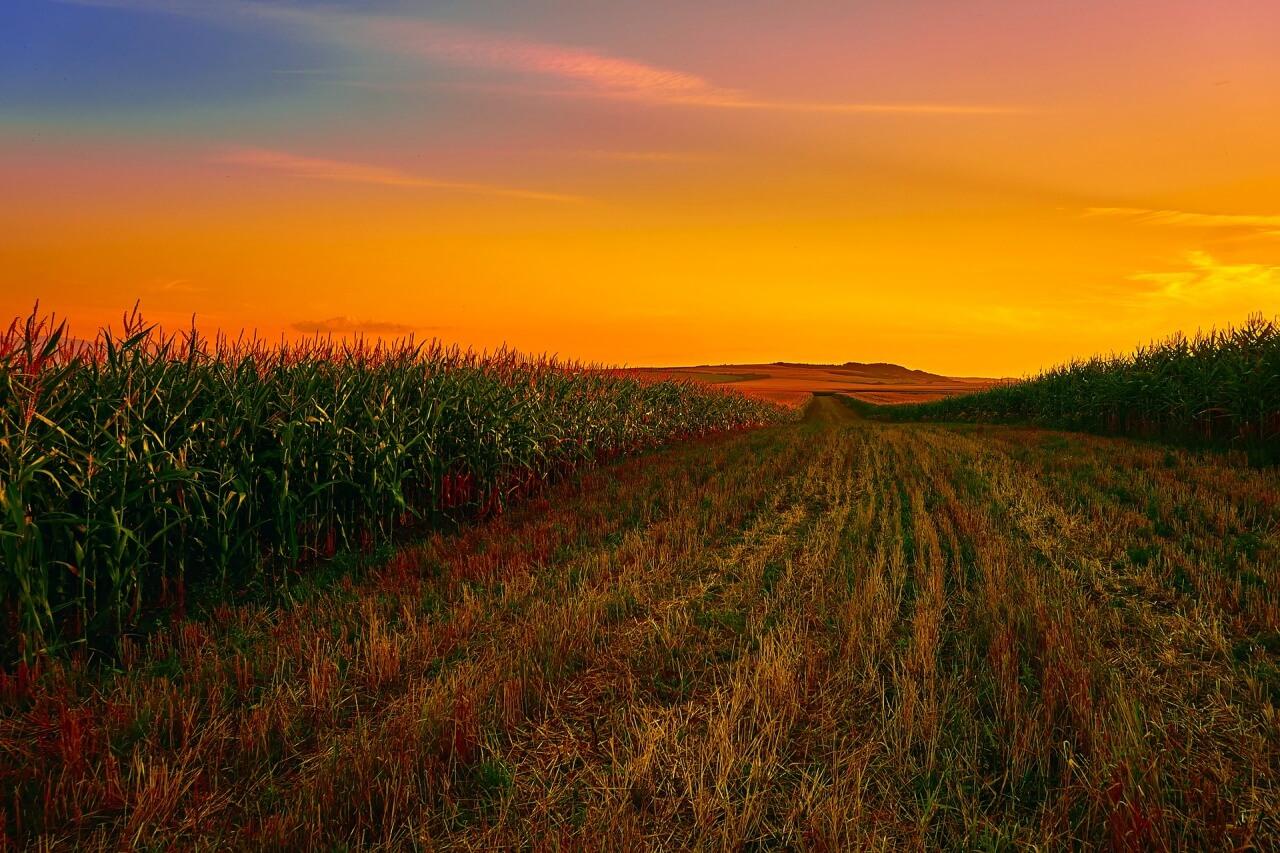 Champ de maïs / Corn field
